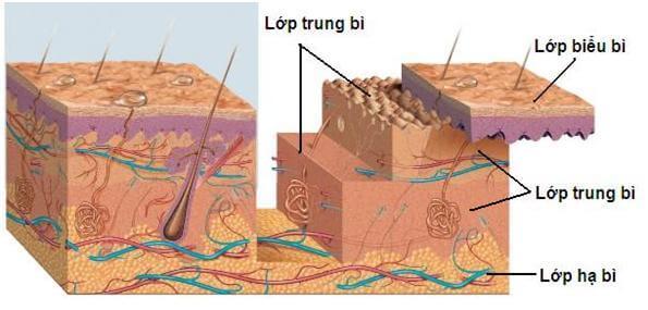 cấu trúc lớp trung bì