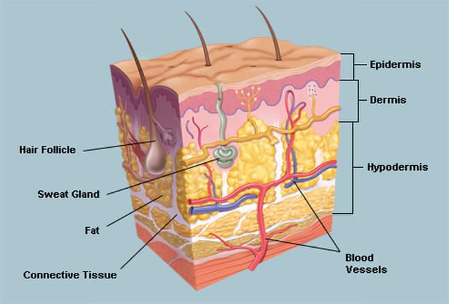 cấu trúc phần hạ bì
